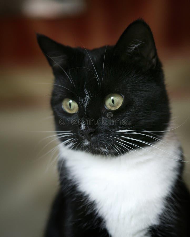 black cat white arkivbilder