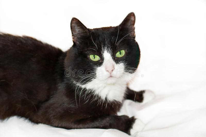 Black cat on white bed sheet. Cute black cat with white face and pink nose, green eyes on white background. Black cat on white bed sheet. Cute black cat with royalty free stock images