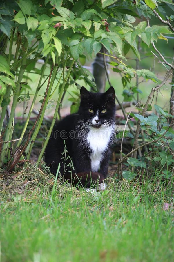 The black cat with white marks and a sleepy look sits under a bush stock images