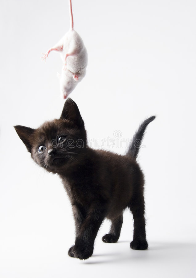 Black cat & White mouse. Cat - the small furry animal with four legs and a tail; people often keep cats as pets royalty free stock photos