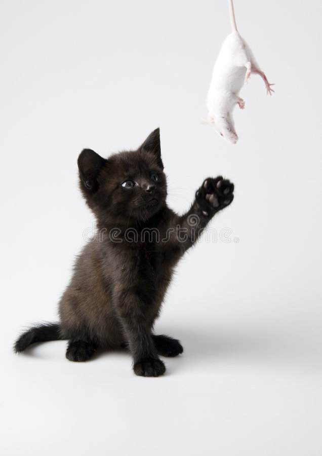 Black cat & White mouse. Cat - the small furry animal with four legs and a tail; people often keep cats as pets royalty free stock image