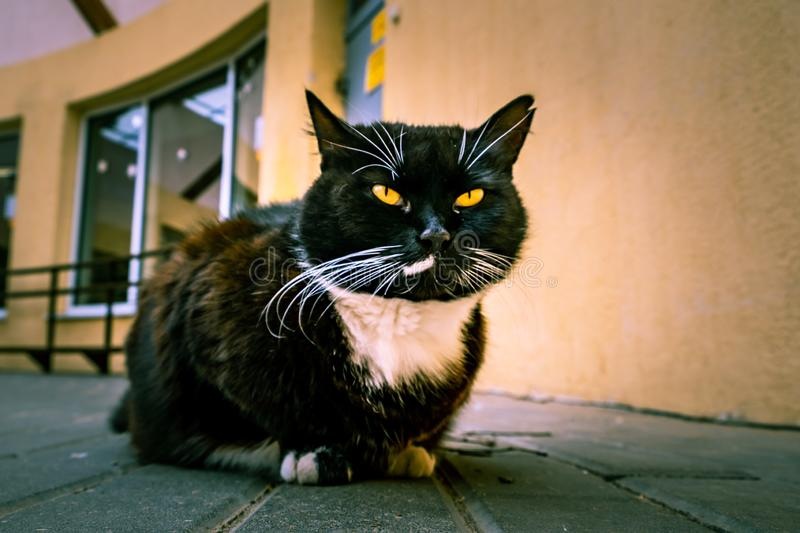 Black cat with white spot and yellow eyes. Black cat with white spot and yellow eyes squinting into the camera royalty free stock photos