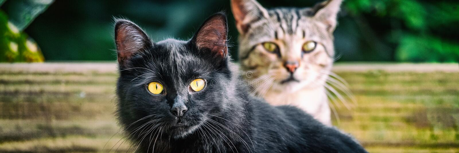 Black cat with yellow eyes banners . Two cute cats outside in garden looking. Panoramic crop. House pets stock image