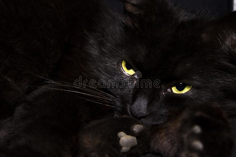 Black cat on black background. A black cat with yellow eyes lies on a black background, the predatory look of the cat is directed to the side. Cat watching royalty free stock images