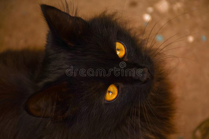 A black cat with yellow eyes looks directly at screen. A beautiful cat is photographed from above. A black cat with yellow eyes looks directly at the screen. A royalty free stock photos