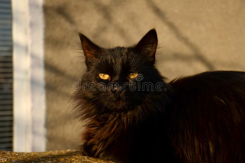 Black cat with yellow eyes looks directly at the screen. Portrait of a beautiful cat on the street in the rays of the sun. A black cat with yellow eyes looks royalty free stock photography