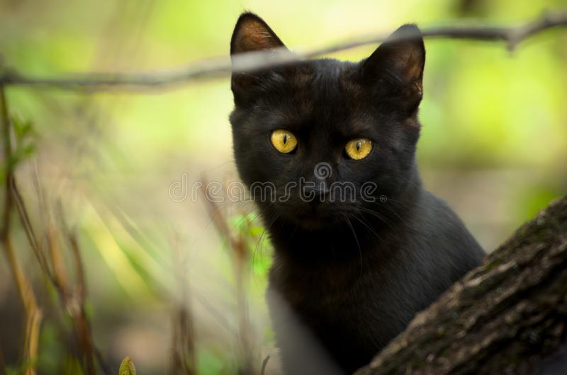 Black cat peeking out from behind a tree royalty free stock image