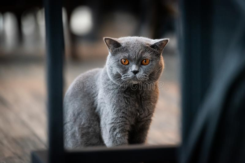 A black cat with yellow eyes in the morning. Adorable, animal, apartment, background, bad, beautiful, british, shorthair, cats, close, close-up, closeup royalty free stock photos