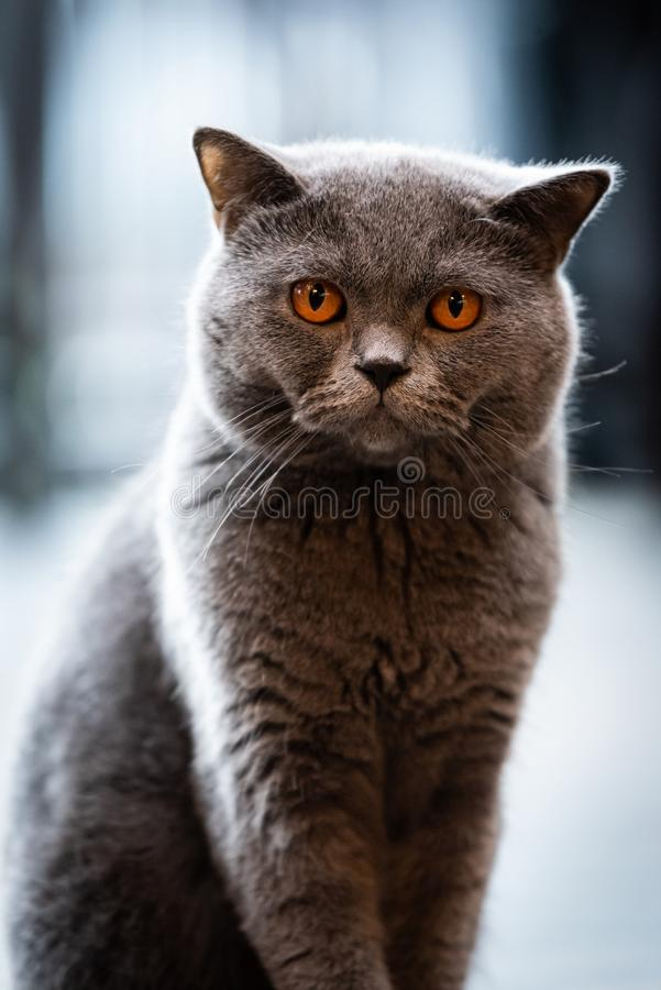 A black cat with yellow eyes in the morning. Adorable, animal, apartment, background, bad, beautiful, british, shorthair, cats, close, close-up, closeup royalty free stock photography