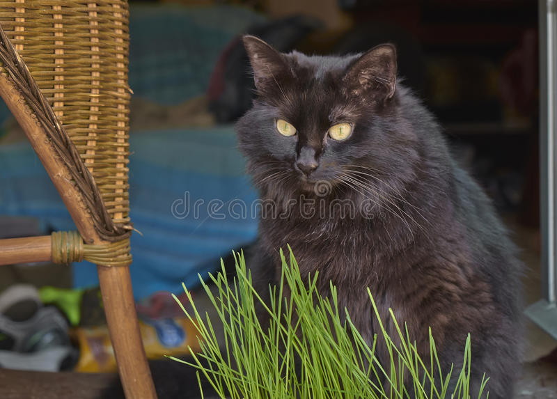 Black cat. With yellow eyes on the out of focus background royalty free stock images