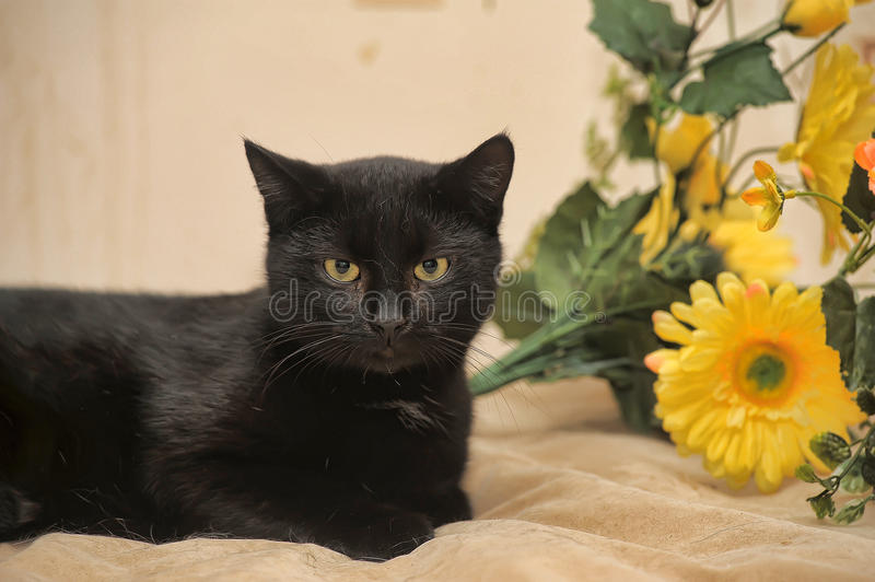 Black cat and yellow flowers royalty free stock photo