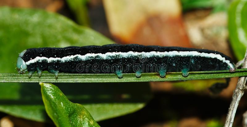 Black caterpillar lateral view - Aporophyla canescens royalty free stock photography