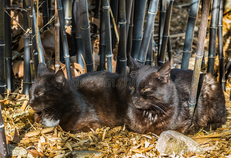 Black cats. And black bamboo royalty free stock image
