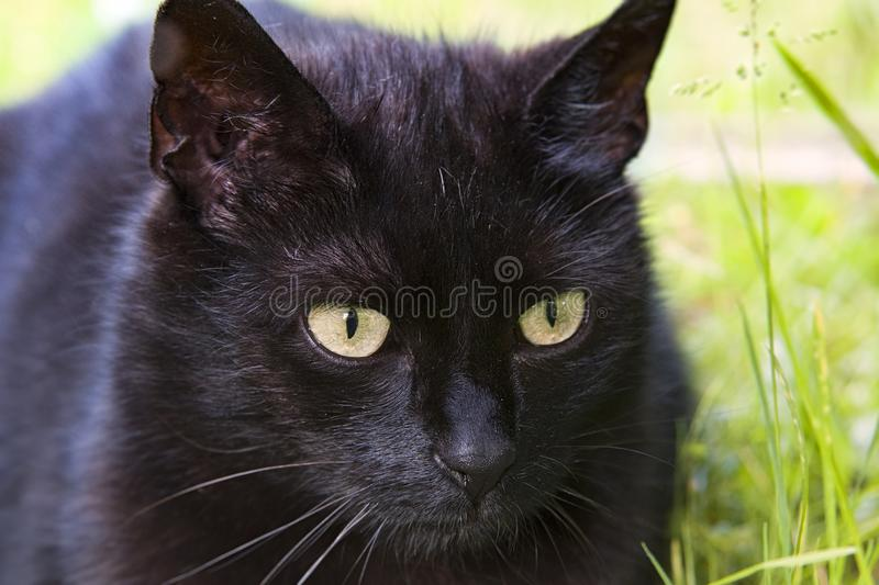 Black cats. Closeup of a long haired black cats face with glowing yellow green eyes stock photography