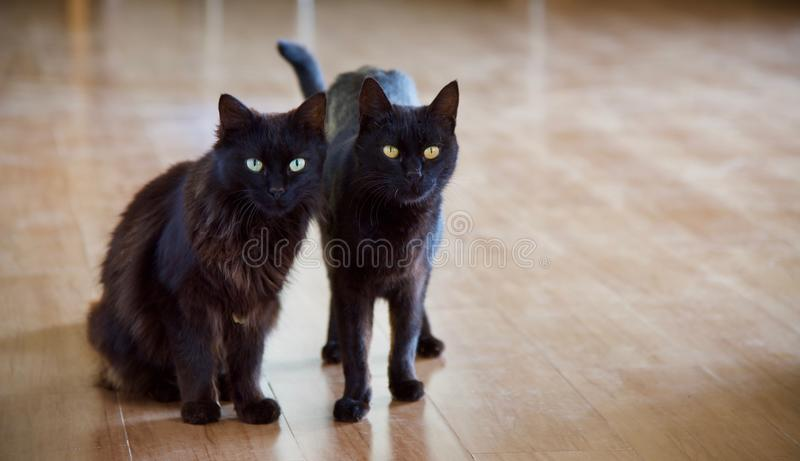 Domestic Black Cats royalty free stock photography