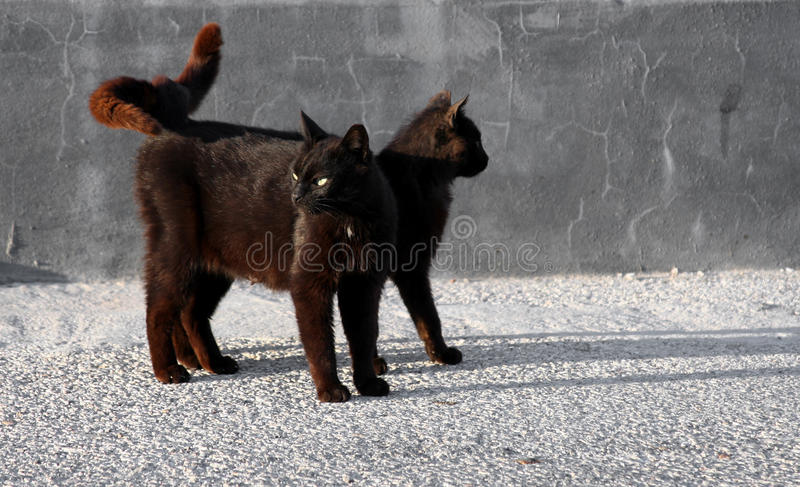 Black cats looking around. Two black cats with their tails hooked looking around royalty free stock photos