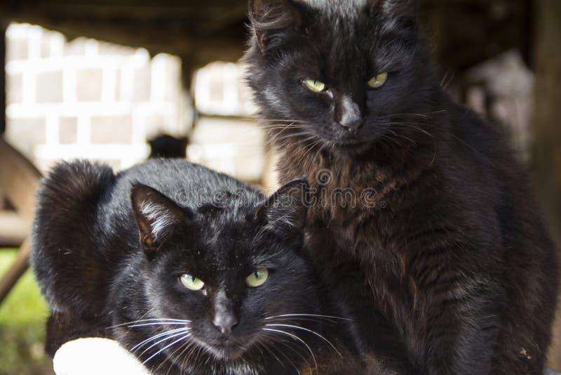 Black cats looking at the camera. Black cat. Black cats looking at the camera. Background blur. Black cat stock image