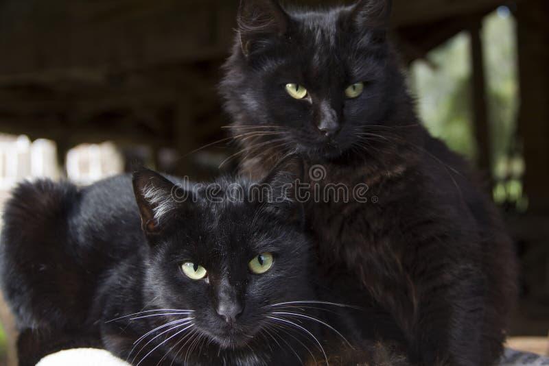 Black cats looking at the camera. Black cat. Black cats looking at the camera. Background blur. Black cat stock photo