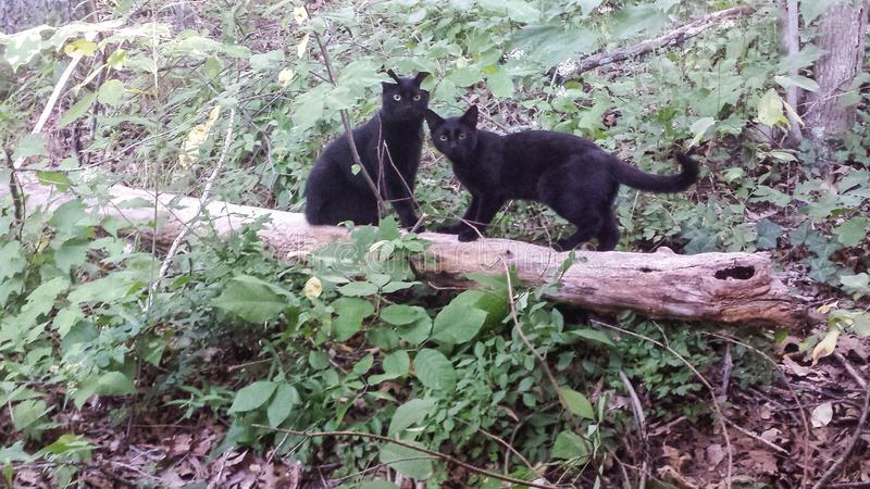 Black cats on wooden log. Two black cats sitting and standing on a tree in the woods stock image