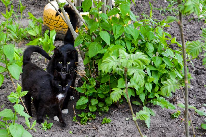 The black cats with yellow eyes walking in the garden. Close up stock photos