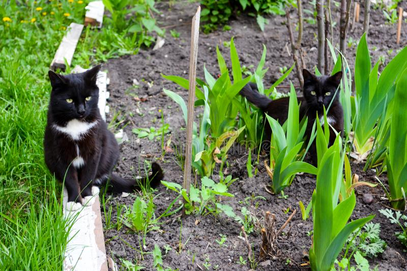 The black cats with yellow eyes walking in the garden. Summer stock image