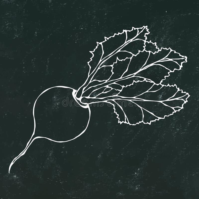 Black Chalk Board. Ripe Beet. Beetroot with Top Leaves. Fresh Vegetable Salad. Hand Drawn Vector Illustration. Savoyar Doodle Styl royalty free illustration