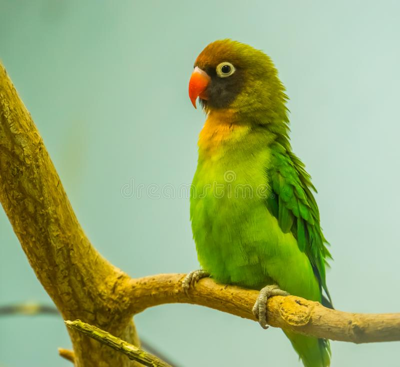 Black cheeked lovebird in closeup, near threatened tropical bird specie from Zambia, Africa royalty free stock image