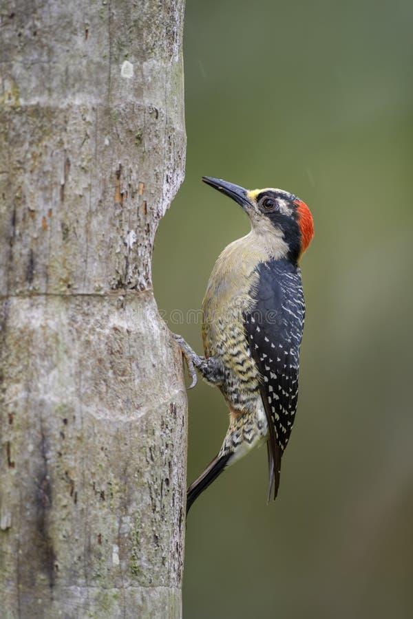 Black-cheeked Woodpecker - Melanerpes pucherani stock photography