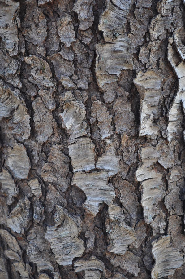 Black Cherry Bark. Vertical close-up image of black cherry (Prunus serotina) outer bark royalty free stock image