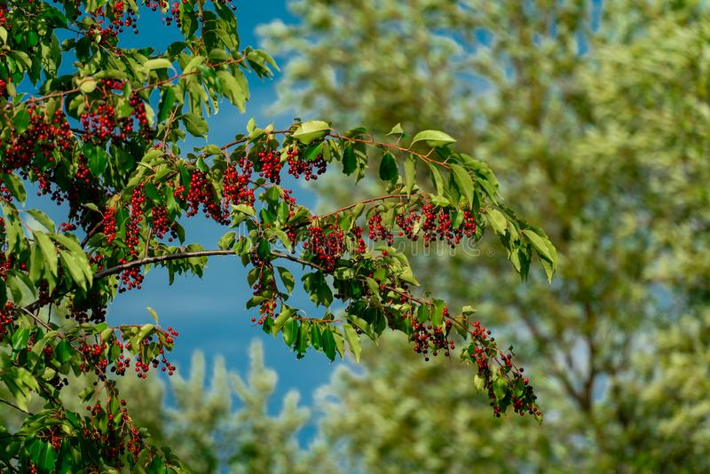 A black cherry tree prunus serotina full of red berries in late summer royalty free stock photos