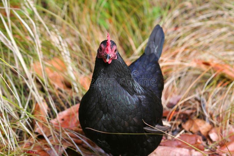 Black chicken royalty free stock photos