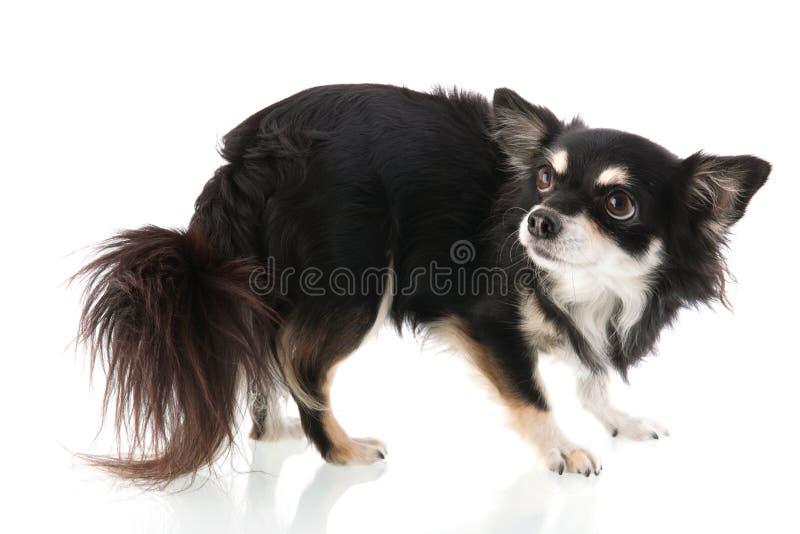 Black Chihuahua royalty free stock photos