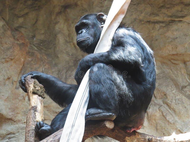 Black Chimp Chimpanzee Monkey Ape Animal Sitting and Holding Hose. Black Chimp Chimpanzee Monkey Ape Animal Sitting and Holding a Hose royalty free stock images
