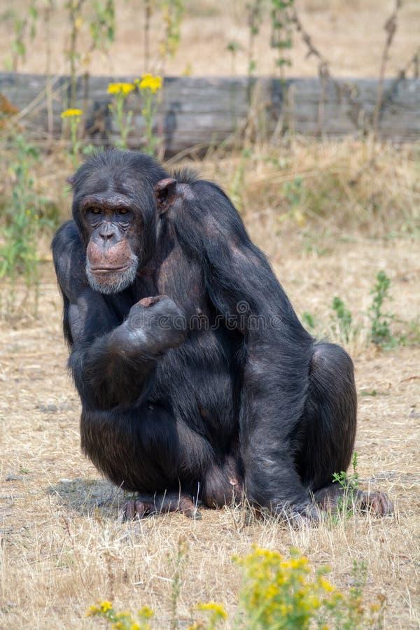 Black chimpanzee monkey in safari park. Close up royalty free stock photography