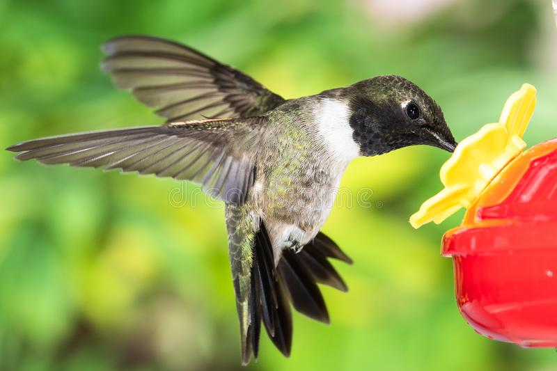 Black-Chinned Hummingbird Arriving at the Feeder for a Meal stock photos
