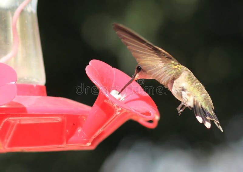 Black Chinned Hummingbird Feeding stock photography