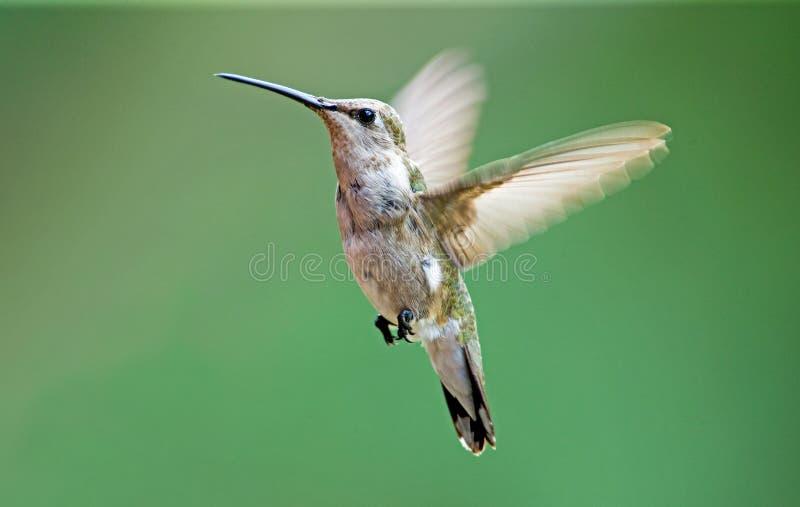 Black-chinned hummingbird stock images