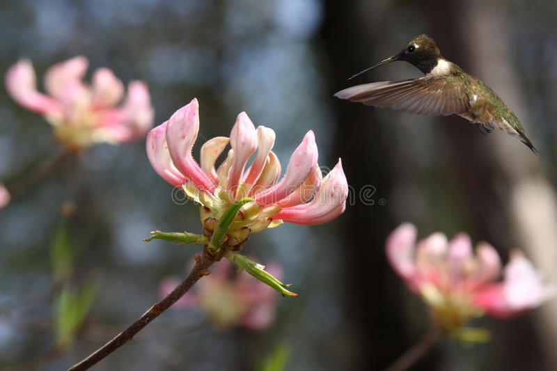 Black-chinned Hummingbird Hovering Above Tree Blossom. A Black-chinned Hummingbird Hovering Above Pink Tree Blossom royalty free stock photo