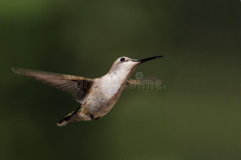 Black-Chinned Hummingbird Hovering in Flight Deep in the Forest. Black-Chinned Hummingbird Hovering in Flight Deep in the Green Forest stock photos