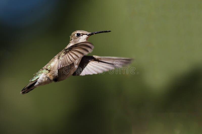 Black-Chinned Hummingbird Hovering in Flight Deep in the Forest. Black-Chinned Hummingbird Hovering in Flight Deep in the Green Forest royalty free stock image