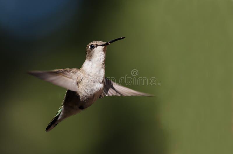 Black-Chinned Hummingbird Hovering in Flight Deep in the Forest. Black-Chinned Hummingbird Hovering in Flight Deep in the Green Forest stock photo