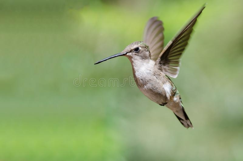 Black-Chinned Hummingbird Hovering in Flight Deep in the Forest. Adorable Black-Chinned Hummingbird Hovering in Flight Deep in the Forest royalty free stock photography