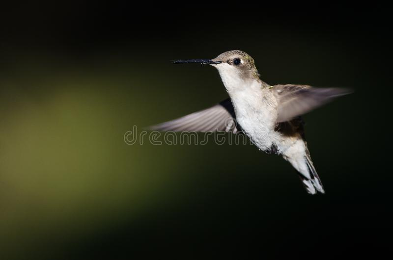Black-Chinned Hummingbird Hovering in Flight Deep in the Forest. Adorable Black-Chinned Hummingbird Hovering in Flight Deep in the Forest royalty free stock image