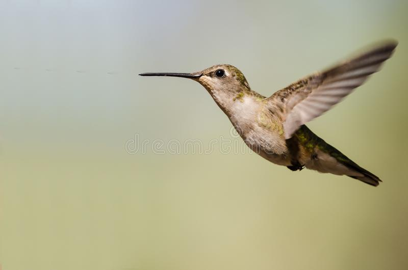 Black-Chinned Hummingbird Hovering in Flight Deep in the Forest. Adorable Black-Chinned Hummingbird Hovering in Flight Deep in the Forest royalty free stock images