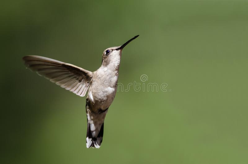 Black-Chinned Hummingbird Hovering in Flight Deep in the Forest. Black-Chinned Hummingbird Hovering in Flight Deep in the Green Forest royalty free stock photography