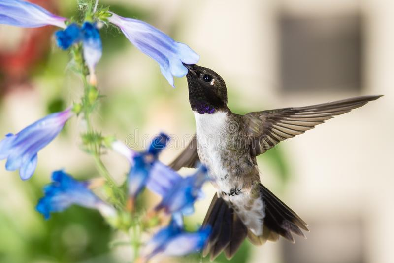Black-Chinned Hummingbird Searching for Nectar Among the Blue Flowers royalty free stock images