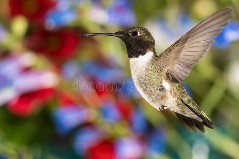 Black-Chinned Hummingbird Searching for Nectar in the Flower Garden royalty free stock photo