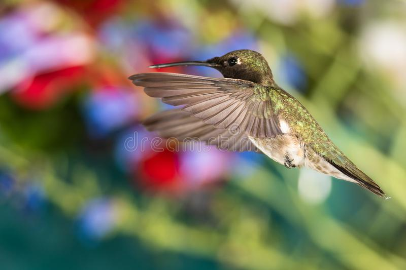 Black-Chinned Hummingbird Searching for Nectar in the Flower Garden stock photography