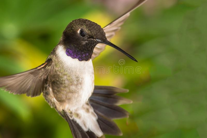 Black-Chinned Hummingbird Searching for Nectar in the Green Garden stock photos