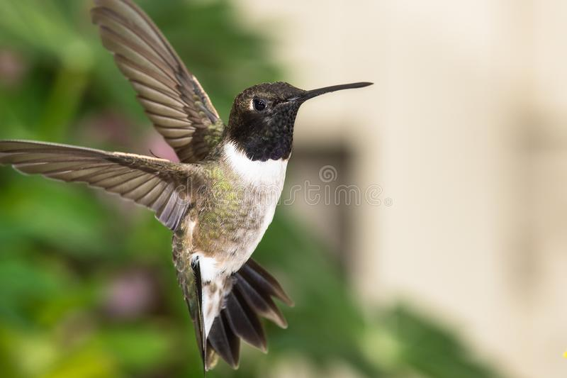 Black-Chinned Hummingbird Searching for Nectar in the Green Garden stock photo
